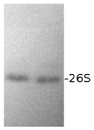 DS5a | Drosophila 26S proteasome subunit Rpn10 in the group Antibodies for Human/Animal  / Drosophila melanogaster at Agrisera AB (Antibodies for research) (AS01 012)