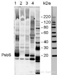 PsbS | 22 kDa Lhc-like PSII protein (chicken) in the group Antibodies for Plant/Algal  / Photosynthesis  / PSII (Photosystem II) at Agrisera AB (Antibodies for research) (AS03 032)