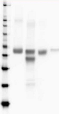 RbcL | Rubisco large subunit, form I, HRP-conjugated (40 µg) in the group Antibodies for Plant/Algal  / Global Antibodies at Agrisera AB (Antibodies for research) (AS03 037-HRP)