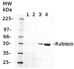 RbcL | Rubisco large subunit, form I (rabbit) in the group Antibodies for Plant/Algal  / Global Antibodies at Agrisera AB (Antibodies for research) (AS03 037)