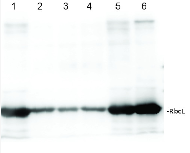 RbcL | Rubisco large subunit, form I (affinity purified) in the group Antibodies for Plant/Algal  / Global Antibodies at Agrisera AB (Antibodies for research) (AS03 037A)