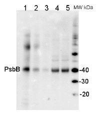 PsbB | CP47 protein of PSII in the group Antibodies for Plant/Algal  / Global Antibodies at Agrisera AB (Antibodies for research) (AS04 038)