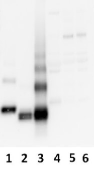 AMBP | Bikunin (mice) in the group Antibodies for Human/Animal  / Human Proteins / Other Human proteins at Agrisera AB (Antibodies for research) (AS04 040)