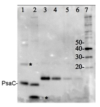 PsaC | positive control/quantitation standard in the group Antibodies for Plant/Algal  / Photosynthesis  / Protein standards-quantitation at Agrisera AB (Antibodies for research) (AS04 042S)