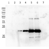 cFBPase | Cytosolic fructose-1,6-bisphosphatase (cytoplasm marker in photosynthetic tissues) in the group Antibodies for Plant/Algal  / Carbohydrates at Agrisera AB (Antibodies for research) (AS04 043)