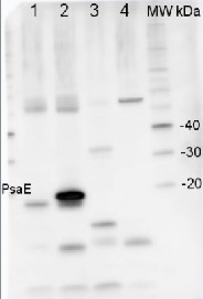PsaE | PSI-E subunit of photosystem I (monocot) in the group Antibodies for Plant/Algal  / Photosynthesis  / PSI (Photosystem I) at Agrisera AB (Antibodies for research) (AS04 047)