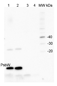 PsbW | Small subunit W of PSII in the group Antibodies for Plant/Algal  / Photosynthesis  / PSII (Photosystem II) at Agrisera AB (Antibodies for research) (AS05 060)