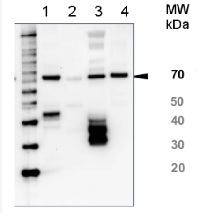 HSP70/HSC70 | Heat shock protein 70/Heat shock cognate protein 70 (serum) in the group Human/Animal Antibodies / Fish Proteins at Agrisera AB (Antibodies for research) (AS05 083)
