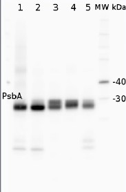 PsbA | D1 protein of PSII, C-terminal (rabbit antibody) (thylakoid membrane marker) in the group Plant/Algal Antibodies / Triticum sp.  at Agrisera AB (Antibodies for research) (AS05 084)