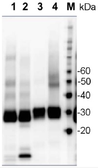 PsbA | D1 protein of PSII, C-terminal (affinity purified) in the group Antibodies for Plant/Algal  / Global Antibodies at Agrisera AB (Antibodies for research) (AS05 084A)