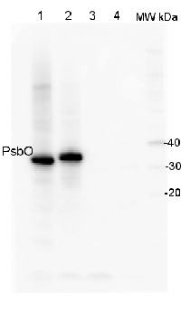 PsbO | 33 kDa of the oxygen evolving complex (OEC) of PSII (anti-peptide) in the group Antibodies for Plant/Algal  / Photosynthesis  / PSII (Photosystem II) at Agrisera AB (Antibodies for research) (AS05 092)