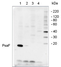 PsaF | PSI-F subunit of photosystem I in the group Plant/Algal Antibodies / Photosynthesis  / PSI (Photosystem I) at Agrisera AB (Antibodies for research) (AS06 104)