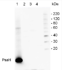 PsaH | PSI-H subunit of photosystem I (plants) in the group Antibodies for Plant/Algal  / Photosynthesis  / PSI (Photosystem I) at Agrisera AB (Antibodies for research) (AS06 105)
