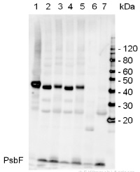 PsbF | beta subunit of Cytochrome b559 of PSII in the group Antibodies for Plant/Algal  / Photosynthesis  / PSII (Photosystem II) at Agrisera AB (Antibodies for research) (AS06 113)