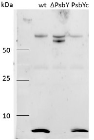 PsbY | Small subunit Y of PSII in the group Antibodies for Plant/Algal  / Photosynthesis  / PSII (Photosystem II) at Agrisera AB (Antibodies for research) (AS06 114)