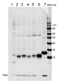 PsbZ | ycf9 protein of PSII in the group Antibodies for Plant/Algal  / Photosynthesis  / PSII (Photosystem II) at Agrisera AB (Antibodies for research) (AS06 115)