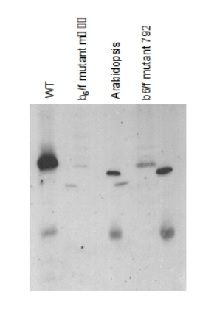 Cyt f | Cytochrome f protein (PetA) of thylakoid Cyt b6/f-complex (algal) in the group Antibodies for Plant/Algal  / Photosynthesis  / Electron transfer at Agrisera AB (Antibodies for research) (AS06 119)