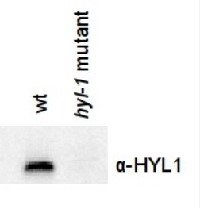 HYL1 | Hyponastic leave phenotype ds-RNA binding protein in the group Antibodies for Plant/Algal  / DNA/RNA/Cell Cycle / microRNA at Agrisera AB (Antibodies for research) (AS06 136)