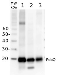 PsbQ | 16 kDa protein of the oxygen evolving complex (OEC) of PSII in the group Antibodies for Plant/Algal / Photosynthesis  / PSII (Photosystem II) at Agrisera AB (Antibodies for research) (AS06 142-16)