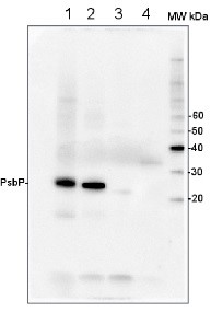 PsbP | 23 kDa protein of the oxygen evolving complex (OEC) of PSII (anti-protein) in the group Antibodies for Plant/Algal  / Photosynthesis  / PSII (Photosystem II) at Agrisera AB (Antibodies for research) (AS06 142-23)
