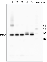 PsbD | D2 protein of PSII in the group Antibodies for Plant/Algal  / Global Antibodies at Agrisera AB (Antibodies for research) (AS06 146)