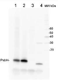 PsbH | Small subunit H of PSII in the group Antibodies for Plant/Algal  / Photosynthesis  / PSII (Photosystem II) at Agrisera AB (Antibodies for research) (AS06 157)