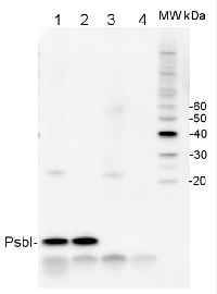PsbI | Small subunit I of PSII in the group Antibodies for Plant/Algal  / Photosynthesis  / PSII (Photosystem II) at Agrisera AB (Antibodies for research) (AS06 158)