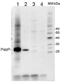 PsbP | 23 kDa protein of the oxygen evolving complex (OEC) of PSII (anti-peptide) in the group Antibodies for Plant/Algal  / Photosynthesis  / PSII (Photosystem II) at Agrisera AB (Antibodies for research) (AS06 167)