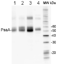 PsaA | PSI-A core protein of photosystem I (100 µl) in the group Plant/Algal Antibodies / Photosynthesis  / PSI (Photosystem I) at Agrisera AB (Antibodies for research) (AS06 172-100)
