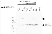 VDAC1-5 | Voltage-dependent anion-selective channel protein 1-5 in the group Antibodies for Plant/Algal  / Mitochondria | Respiration at Agrisera AB (Antibodies for research) (AS07 212)