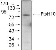 FtsH10 | ATP-dependent zinc metalloprotease FtsH10 (mitochondrial) in the group Antibodies for Plant/Algal  / Mitochondria | Respiration at Agrisera AB (Antibodies for research) (AS07 251)