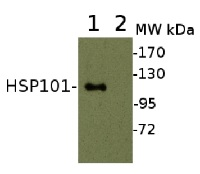 HSP101 | ClpB heat shock protein, N-terminal (rabbit antibody) in the group Antibodies for Plant/Algal  / Environmental Stress / Heat shock at Agrisera AB (Antibodies for research) (AS07 253)
