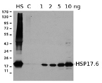 HSP17.6 | Cytosolic class I heat shock protein 17.6 (rabbit antibody) in the group Antibodies for Plant/Algal  / Environmental Stress / Heat shock at Agrisera AB (Antibodies for research) (AS07 254)