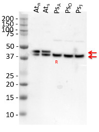 GLN1 GLN2 | GS1 GS2 glutamine synthetase global antibody in the group Antibodies for Plant/Algal  / Global Antibodies at Agrisera AB (Antibodies for research) (AS08 295)