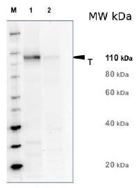 NR | Nitrate reductase, assimilatory (100 µl) in the group Antibodies for Plant/Algal  / Nitrogen Metabolism at Agrisera AB (Antibodies for research) (AS08 310-100)