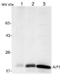 ARF1 | ADP-ribosylation factor 1 in the group Antibodies for Plant/Algal  / Membrane Transport System / Endomembrane system at Agrisera AB (Antibodies for research) (AS08 325)
