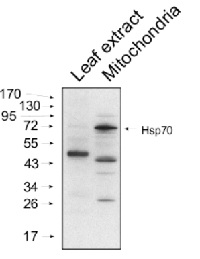 HSP70 | Heat shock protein 70 (mitochondrial)  in the group Antibodies for Plant/Algal  / Environmental Stress / Heat shock at Agrisera AB (Antibodies for research) (AS08 347)