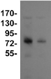 DnaK2 | Heat shock protein 70-2 (HSP70-2) in the group Antibodies for Plant/Algal  / Environmental Stress / Heat shock at Agrisera AB (Antibodies for research) (AS08 350)