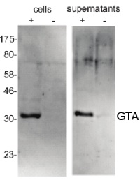 GTA MCP | Gene Transfer Agent (GTA) major capsid protein (MCP) in the group Antibodies, Bacterial/Fungal at Agrisera AB (Antibodies for research) (AS08 365)