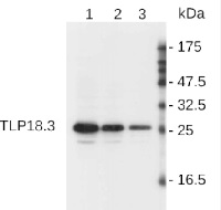 Tlp18.3 | Thylakoid lumen 18.3 kDa protein in the group Antibodies for Plant/Algal  / Photosynthesis  / PSII (Photosystem II) at Agrisera AB (Antibodies for research) (AS08 369)