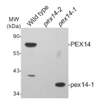 Pex14p | Peroxisomal marker in the group Antibodies for Plant/Algal  / Compartment Markers / Peroxisomal marker at Agrisera AB (Antibodies for research) (AS08 372)