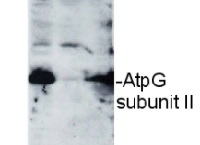 AtpG | ATPsynthase subunit II b' (chloroplastic) in the group Antibodies for Plant/Algal  / Photosynthesis  / ATP synthase at Agrisera AB (Antibodies for research) (AS09 457)