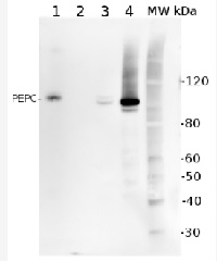 PEPC | Phosphoenolpyruvate carboxylase in the group Antibodies for Plant/Algal  / Global Antibodies at Agrisera AB (Antibodies for research) (AS09 458)
