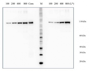 PEPC | Phosphoenolpyruvate carboxylase positive control/quantitation standard in the group Antibodies for Plant/Algal  / Photosynthesis  / RUBISCO/Carbon metabolism at Agrisera AB (Antibodies for research) (AS09 458S)