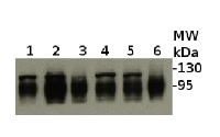 ClpB-P | ClpB3 in the group Antibodies for Plant/Algal  / Environmental Stress / Heat shock at Agrisera AB (Antibodies for research) (AS09 459)