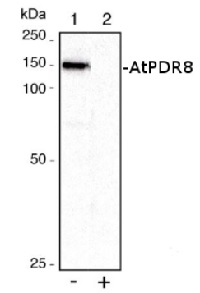 PDR8 | ABC transporter G family member 36 in the group Antibodies for Plant/Algal  / Membrane Transport System / Plasma membrane at Agrisera AB (Antibodies for research) (AS09 471)