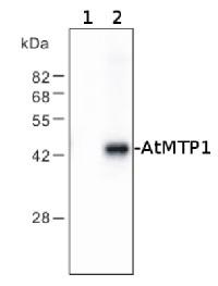 MTP1 | vacuolar Zn2+/H+ antiporter in the group Antibodies for Plant/Algal  / Membrane Transport System / Vacuolar membrane at Agrisera AB (Antibodies for research) (AS09 485)