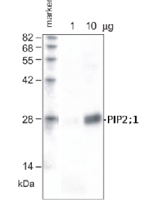 PIP2;1+PIP2;2 | Aquaporin PIP2;1+PIP2;2 in the group Antibodies for Plant/Algal  / Membrane Transport System / Plasma membrane at Agrisera AB (Antibodies for research) (AS09 488)
