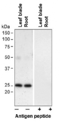 PIP1;3 | Aquaporin, plasma membrane intrinistic protein 1-3  in the group Antibodies for Plant/Algal  / Membrane Transport System / Plasma membrane at Agrisera AB (Antibodies for research) (AS09 505)