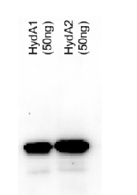 HydA | Iron-hydrogenase HydA1/HydA2 in the group Antibodies for Plant/Algal  / Fermentation at Agrisera AB (Antibodies for research) (AS09 514)